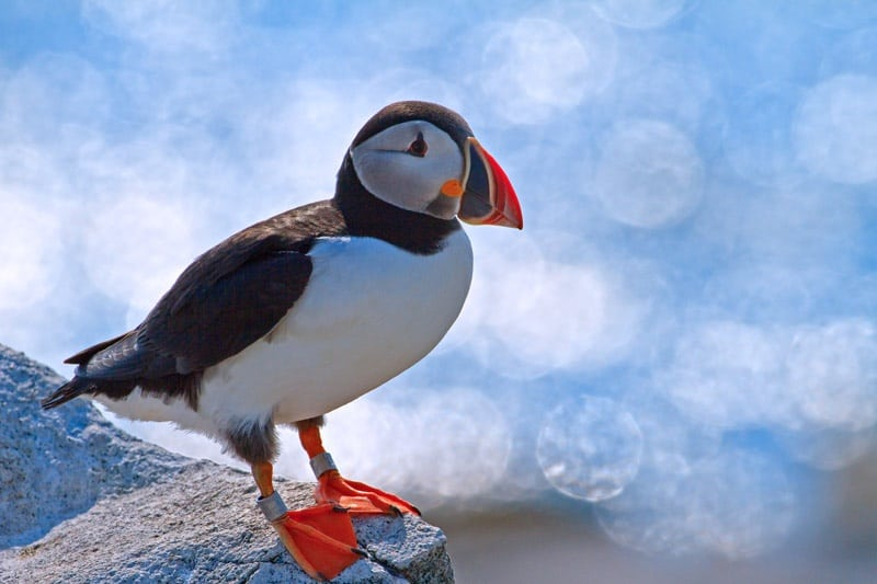 Faune Islandaise Animaux Terrestres Volants Ou Marins D