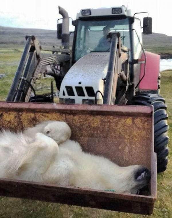 Cadadre de l'ours blanc