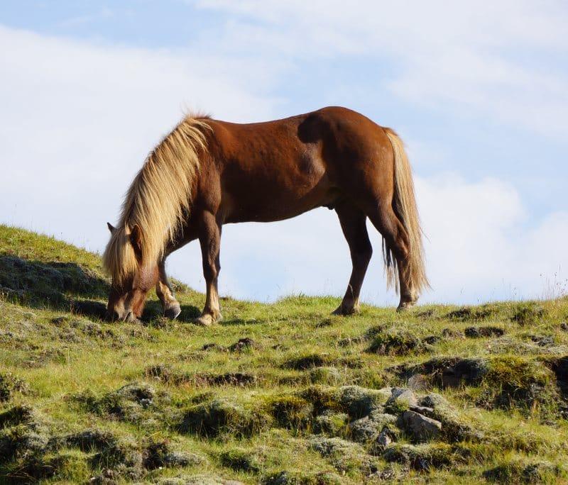 Cheval d'Islande