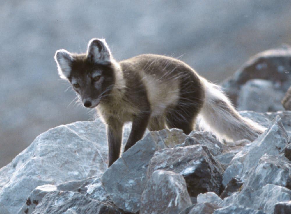 Faune Islande renard Arctique