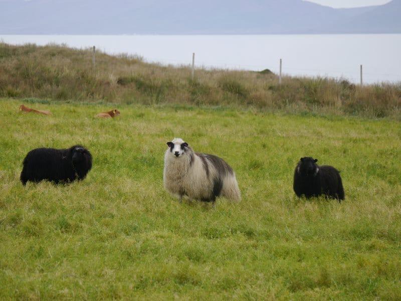 Moutons d'Islande