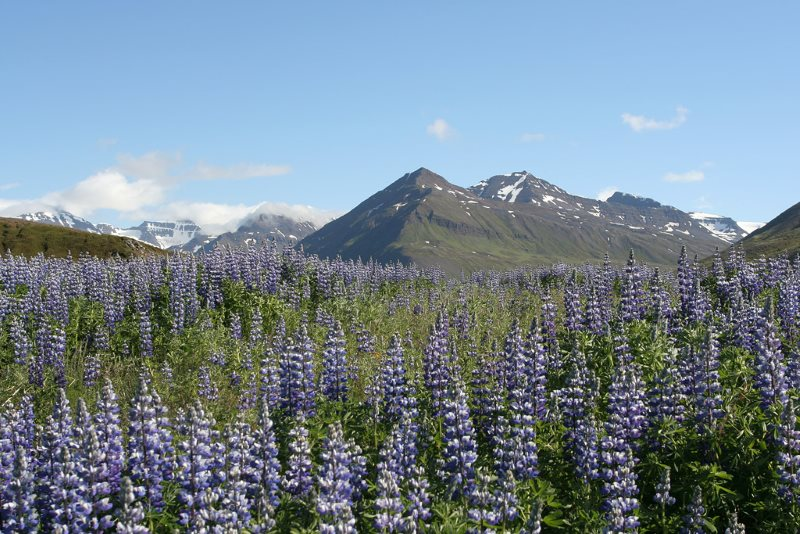 lupin d'Alaska en Islande