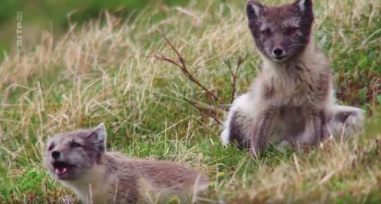 Islande – L'été des renards polaires