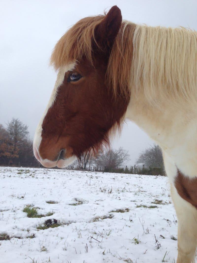 cheval d'Islande dans la neige