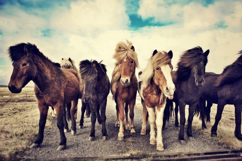 robe des chevaux islandais