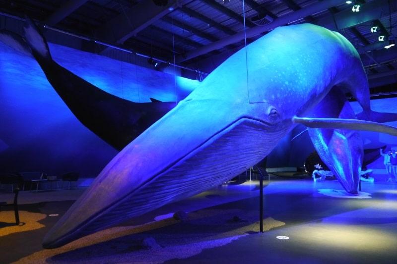 Baleine bleu au musée des baleines