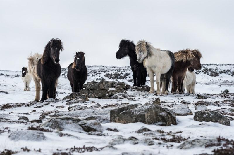 Troupeau de chevaux islandais