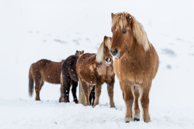 Hestur le Cheval Islandais