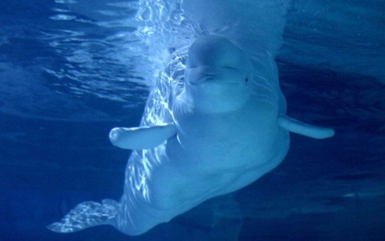 Islande : la baie de Klerrsvik accueille deux bélugas venus de Shanghai