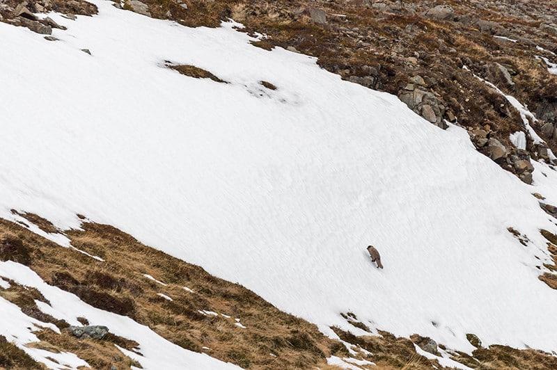 Le territoire du renard polaire