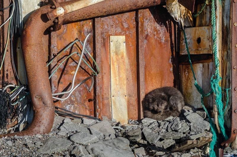 Renard polaire brun qui se réchauffe à l'abri d'une épave