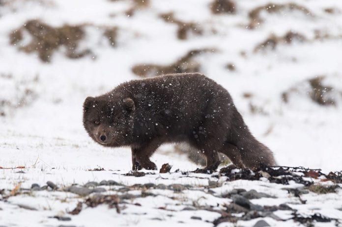 Renard polaire brun sous la neige