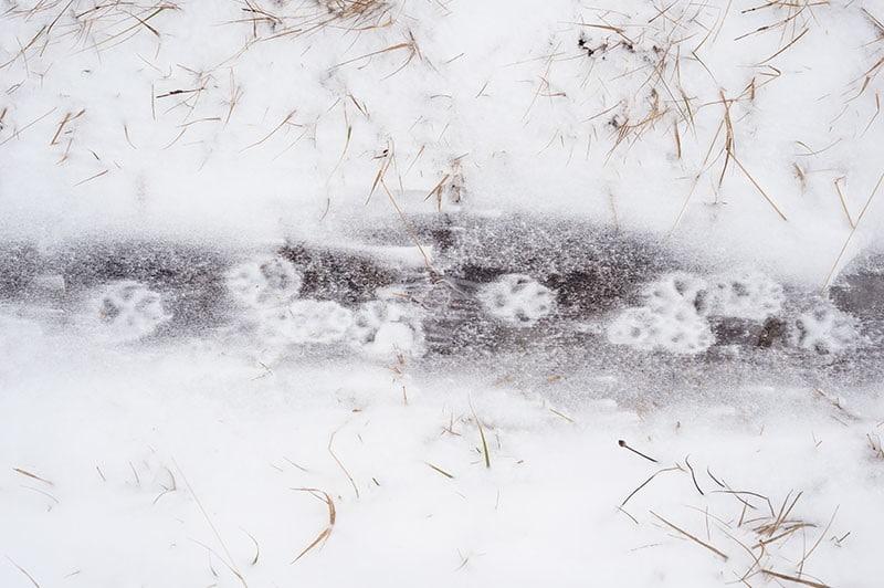empreintes de renard polaires figés par la glace