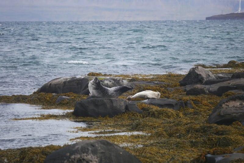 Litlibaer phoque